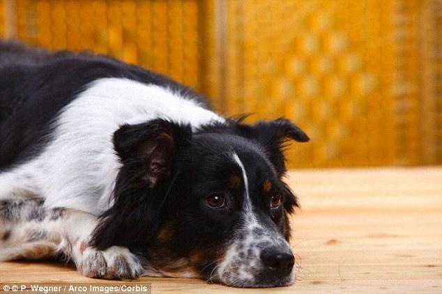 Estudo afirma que os cães também podem ser pessimistas