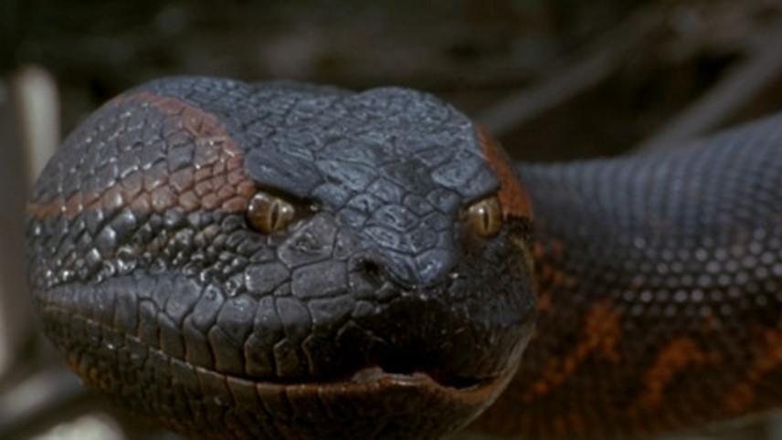 Anaconda gigante é encontrada em rio brasileiro, veja o vídeo: