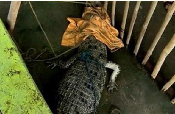 Em pescaria inusitada, homem acaba capturando um crocodilo