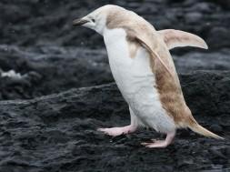 pinguim loiro