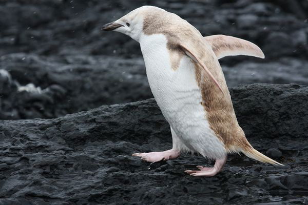 Pinguim loiro é encontrado na Antártida