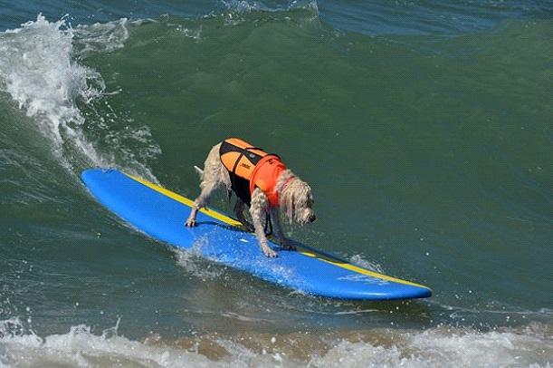 Cães surfistas são destaque em praia dos EUA