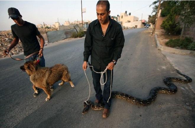 Homem passeia com cobra de estimação na Palestina e chama atenção