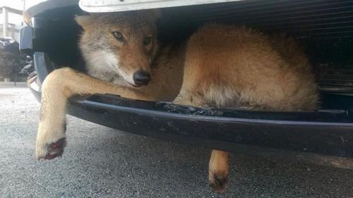 Coiote sobrevive após ser atropelado e ficar preso a caminhão por 10km