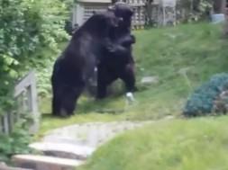 ursos-briga