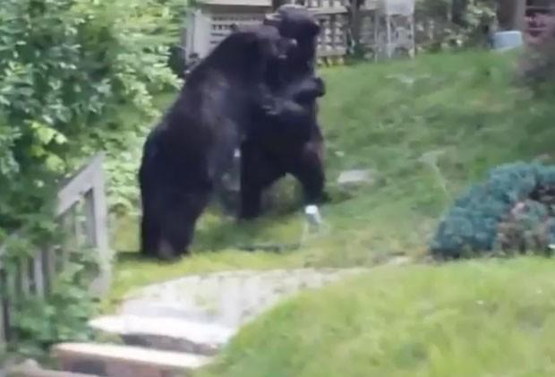 Vídeo de ursos brigando é sucesso na web