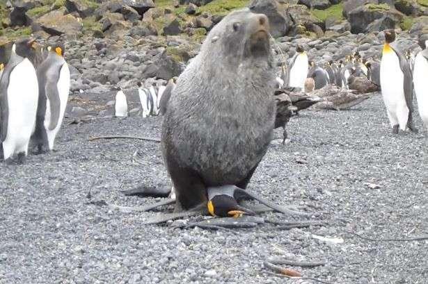 """Focas """"estupram"""" pinguins e intrigam cientistas"""