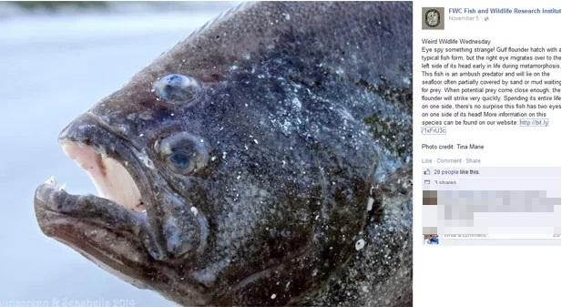 Peixe chama atenção por ter os dois olhos do mesmo lado