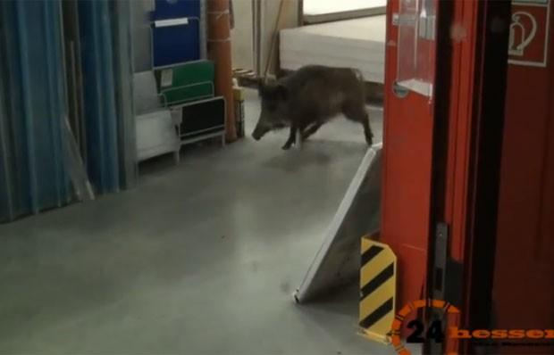Javali invade loja de ferragens e engana polícia em cidade da Almenaha