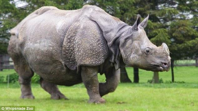 Homem é atacado por rinoceronte e fica gravemente ferido