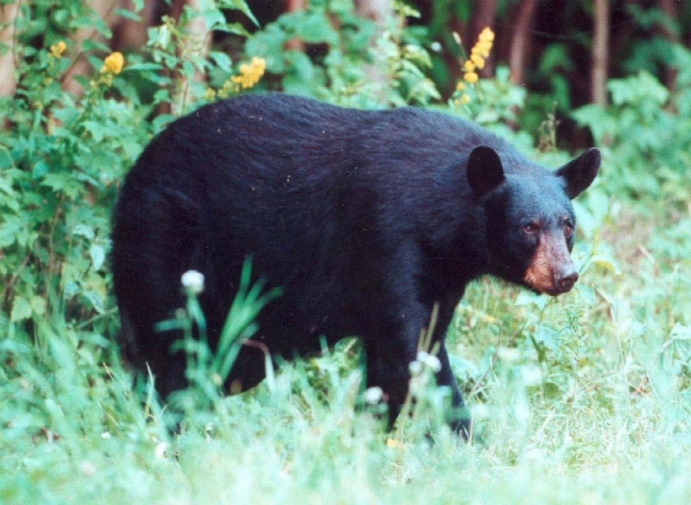 Jovem tira foto de urso e em seguida é atacado e morto