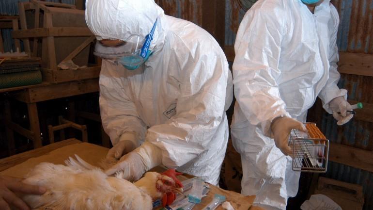 Japão ordena abate mais 37 mil frangos devido a novo surto de gripe aviária