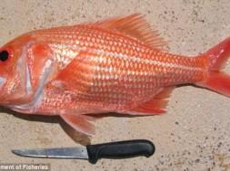 Bight red fish
