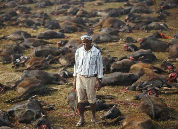 Festival Gadhimai promove o sacrifício de milhares de animais no Nepal