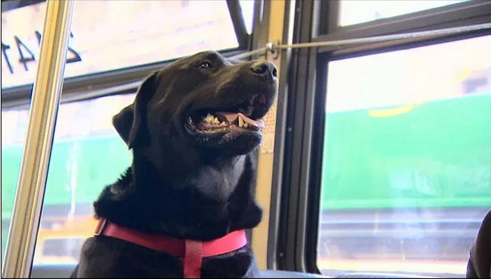 Cadela entra em ônibus frequentemente para ir ao parque sozinha