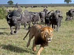 leão assustado