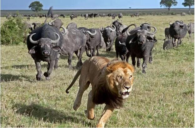 Leão fica amedrontado com manada de búfalos e foge