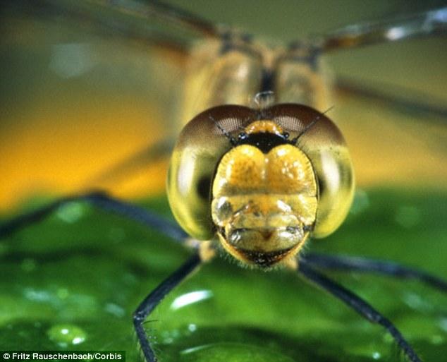 Cientistas descobrem que as libélulas enxergam em Ultra HD, a melhor visão no reino animal
