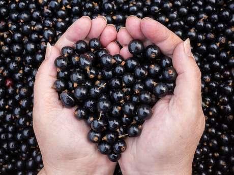 Conheça a groselha negra: uma importante fruta que auxilia no tratamento de beleza