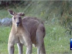 Canguru2