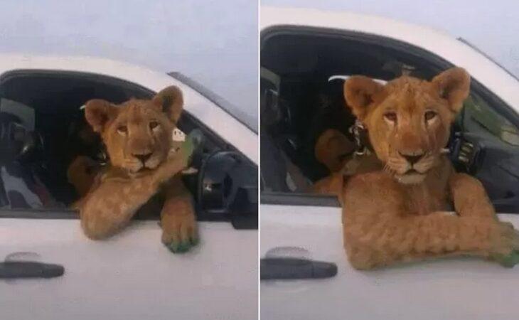 Motorista dá 'carona' para leoa e faz sucesso na web