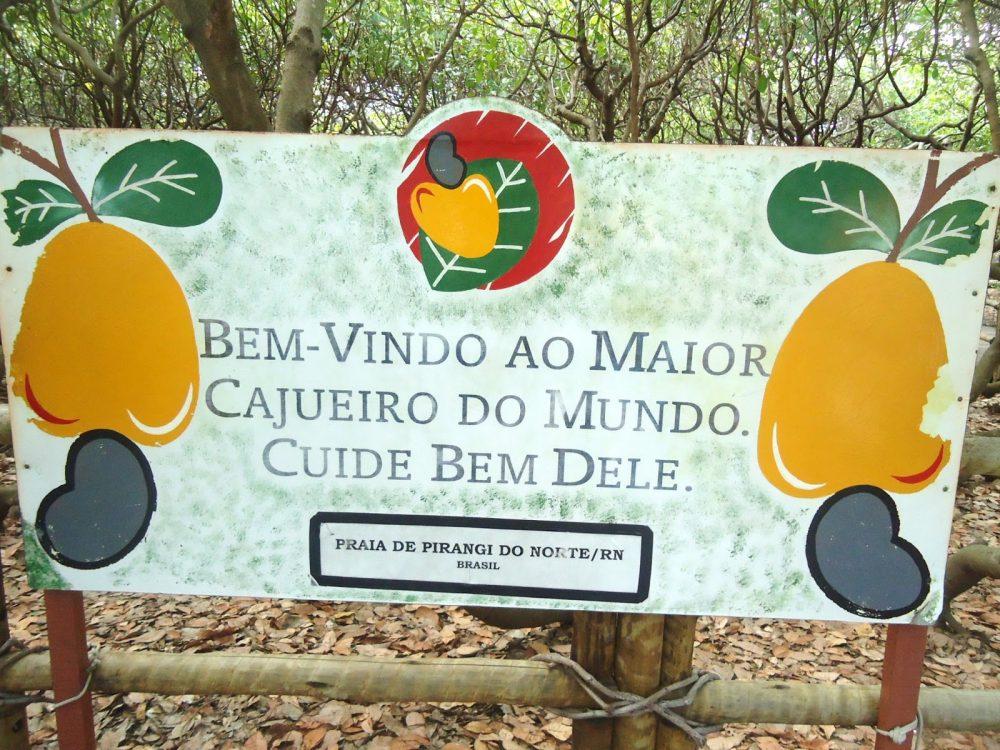 Pesquisadores apontam que cajueiro do Piauí é maior que o de Pirangi