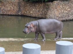 Hipopótamo Yago