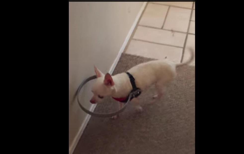 Dono cria dispositivo para cão cego poder andar sem bater nas coisas