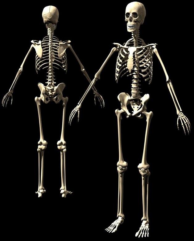 Como é formado o esqueleto humano?