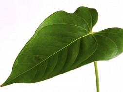 folha-artificial-consegue-produzir-energia-electrica