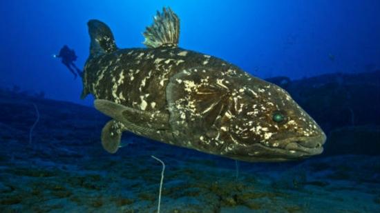 Cientistas brasileiros descobrem pulmões em peixes primitivos