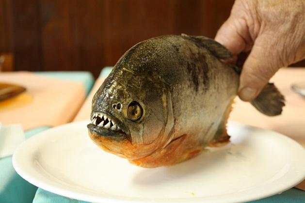 Conheça algumas curiosidades sobre as piranhas