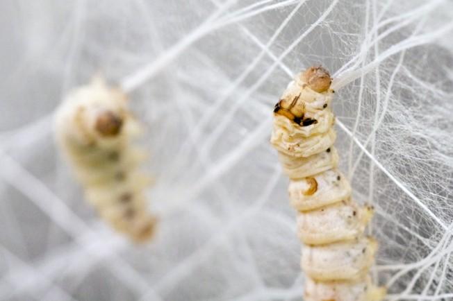 Curiosidade: Saiba como o bicho-da-seda produz seda
