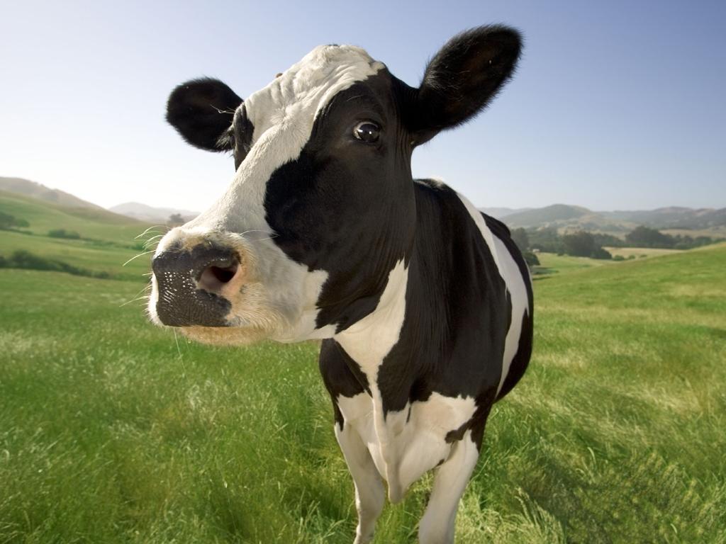 soñar-con-vaca