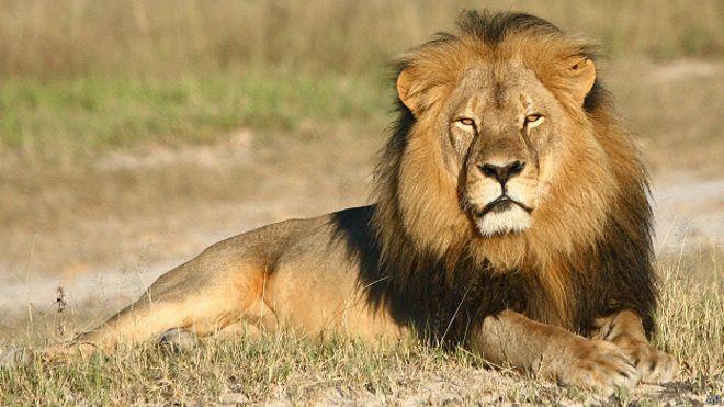 Dentista que matou leão Cecil não será incriminado