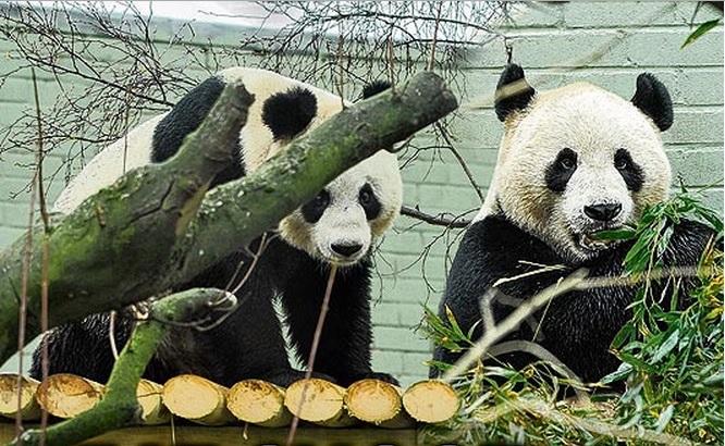 Cientistas planejam clonar o único casal de pandas do Reino Unido para salvá-los da extinção