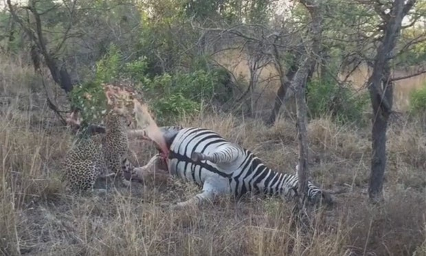 Leopardo leva grande susto após explosão de 'carcaça' de zebra