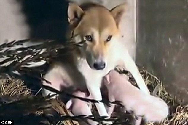 Após perder seus filhotes, cachorra se torna mãe adotiva de três leitões