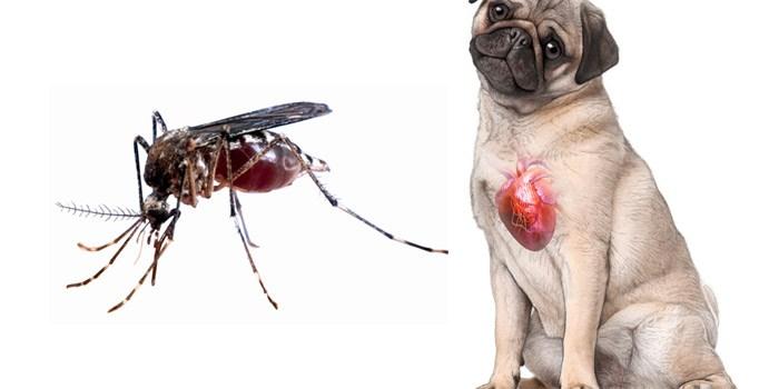 Aedes aegypti transmite doença que pode causar morte em cães
