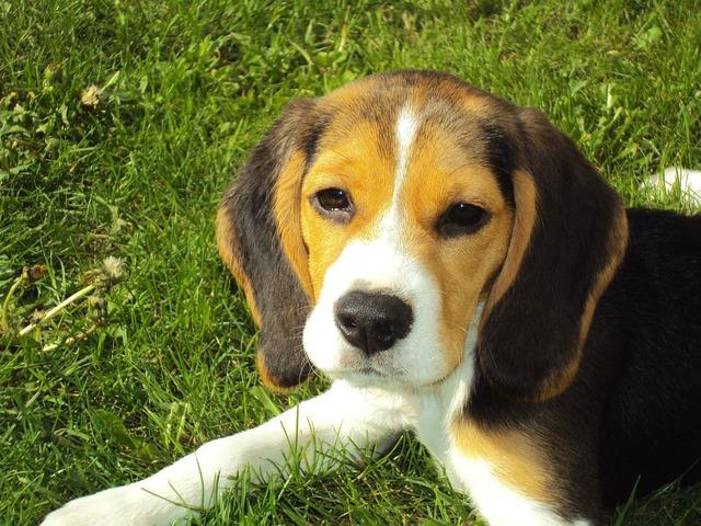 Falar com cachorros com 'voz de bebê' funciona, diz estudo