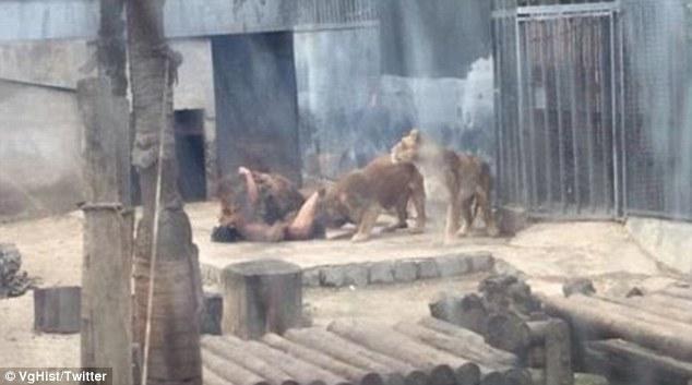 Homem invade jaula com leões e animais são sacrificados para deter ataque