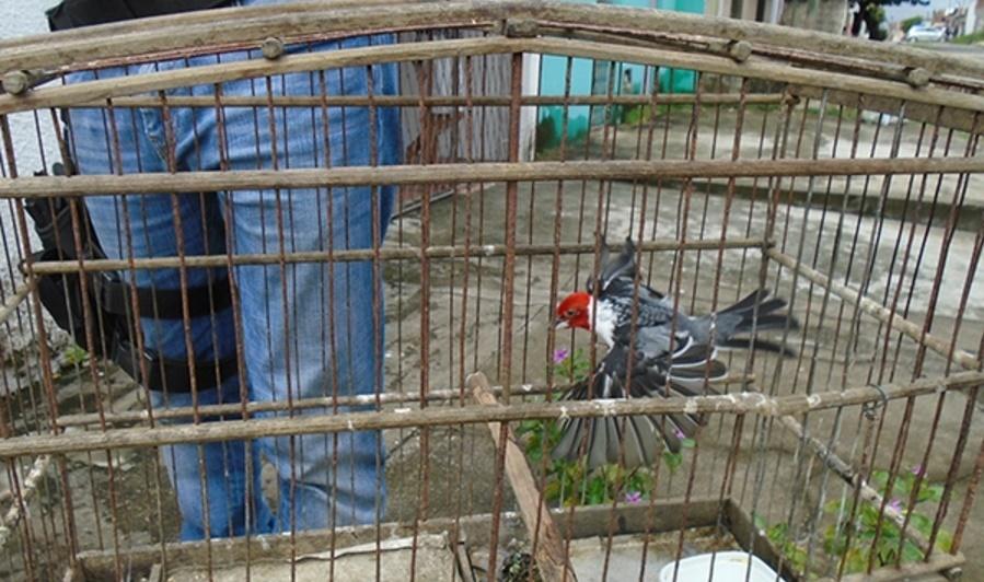 """Operação """"Asas da Liberdade"""" apreende 70 animais em dois dias"""