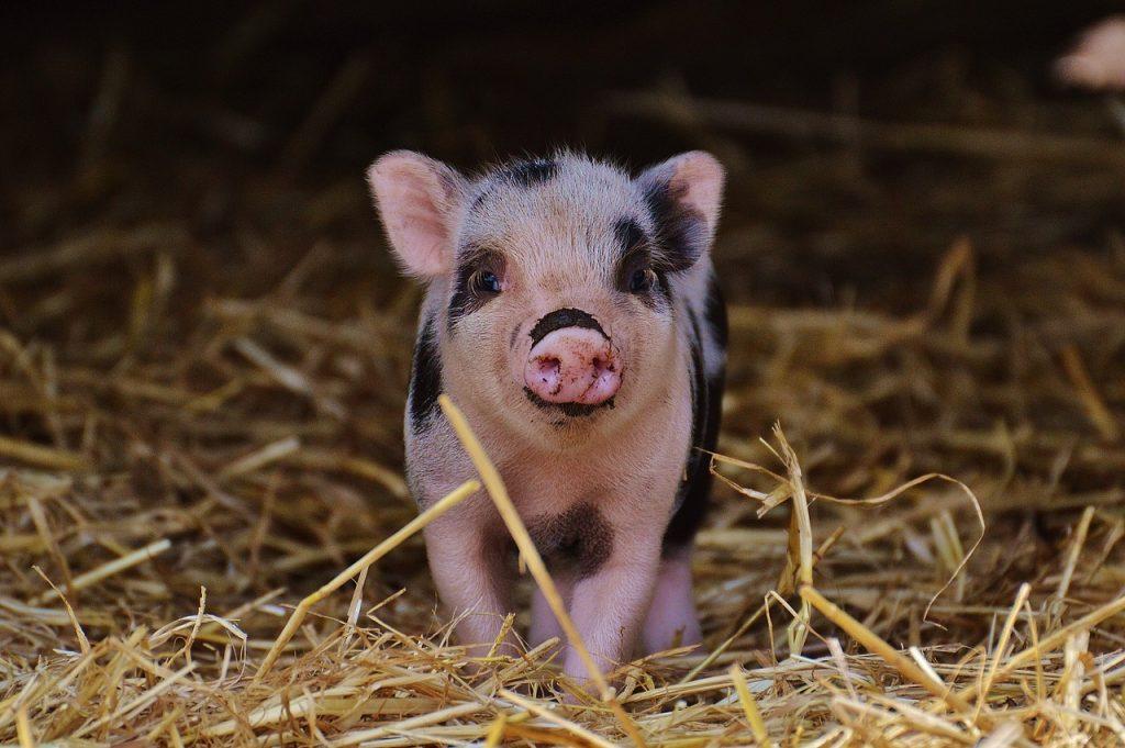 Cientistas querem gerar órgãos humanos dentro de porcos