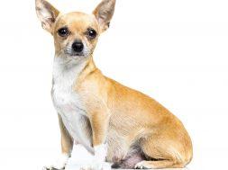 cadela gestante cachorro