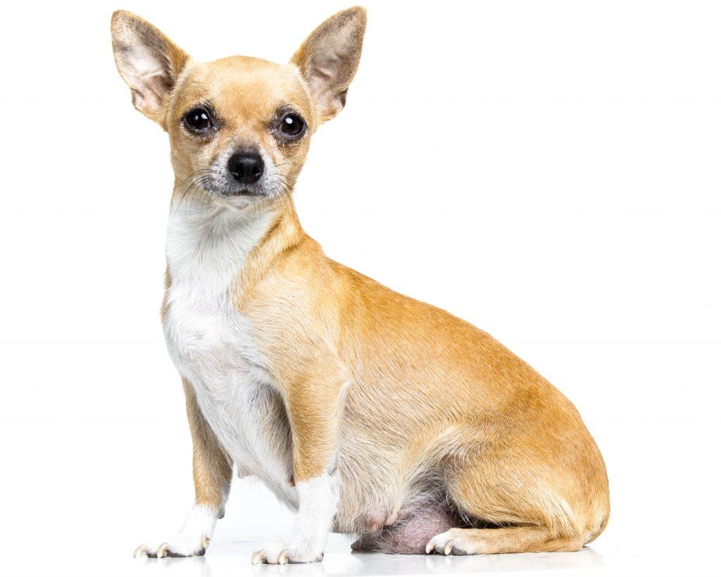 Cadelas gestantes: alimentação, amamentação e desmame
