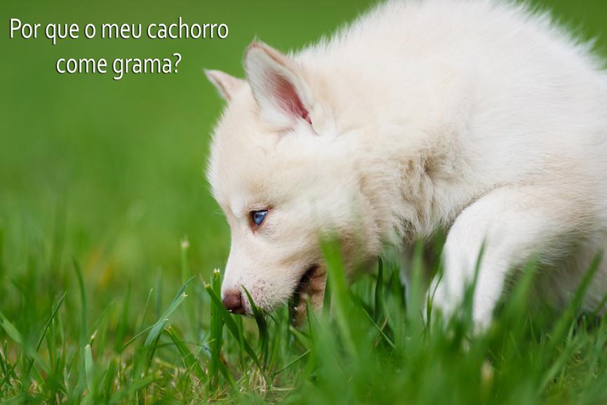 Seu cão come grama? Saiba por quê