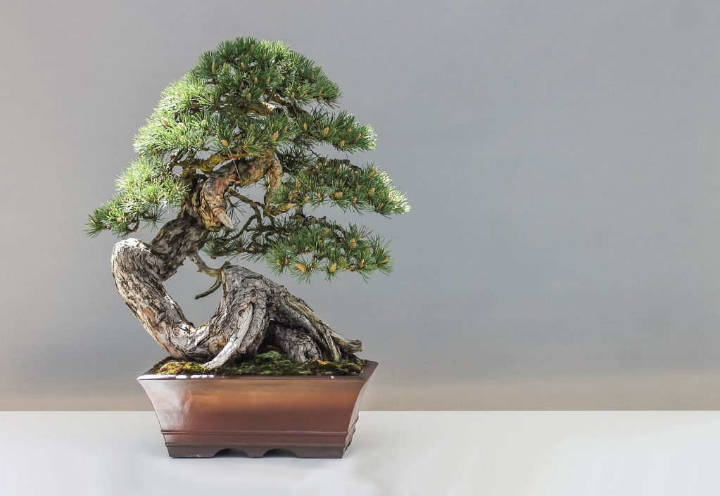 Exposição de Bonsai