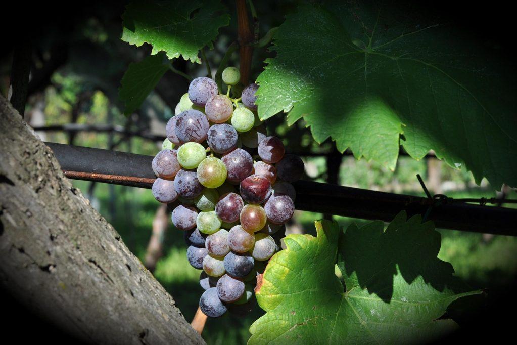 Uvas no semiárido do rio grande do norte
