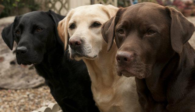 expectativa de vida de um cão cachorro labrador