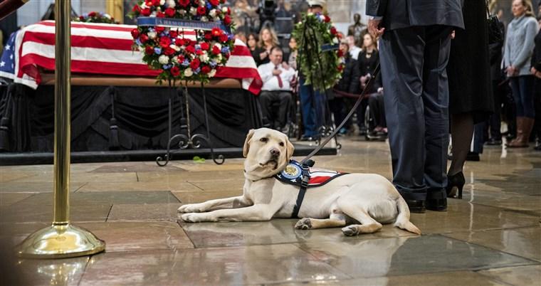 Labrador de George H.W. Bush consegue novo 'emprego' nos EUA